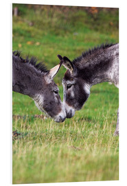 Tableau en PVC  Donkeys touching noses - Duncan Shaw