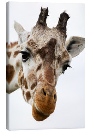 Tableau sur toile  Girafe curieuse - Power and Syred