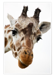 Poster  Girafe curieuse - Power and Syred