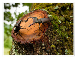 Poster  Greater Stag Beetles - Bob Gibbons