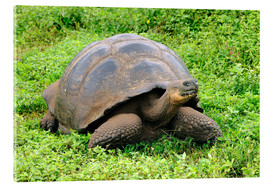 Verre acrylique  Galapagos tortoise - Huwiler