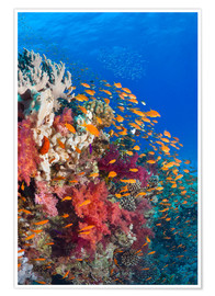 Poster Lyretail anthias feeding on a reef