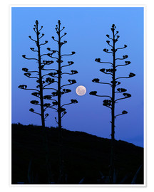Poster  Full Moon and agave trees - Luis Argerich