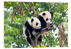 Tableau en PVC  Young Pandas in a tree - Tony Camacho
