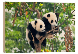 Bois  Young Pandas in a tree - Tony Camacho