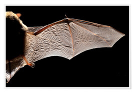 Alex Hyde - Common pipistrelle bat wing
