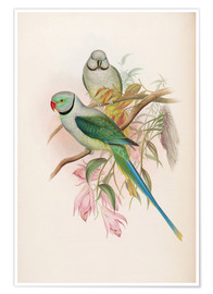 John Gould - Blue winged Parrakeet