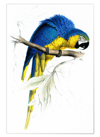 Poster  Blue & Yellow Macaw - Edward Lear