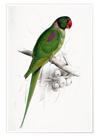 Poster  Hooded Parakeet - Edward Lear