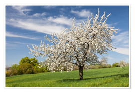 Poster Blooming cherry tree