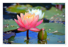 Poster  water lily - GUGIGEI