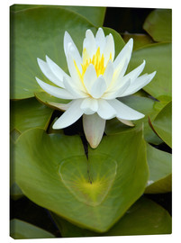 Toile  white water lily - GUGIGEI