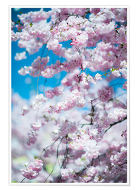 Poster  Cherry blossom in spring - Peter Wey