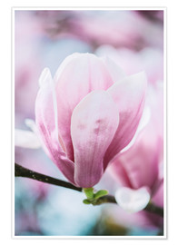 Poster  Closeup of blossoming magnolia in spring - Peter Wey