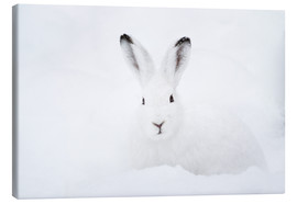 Tableau sur toile  Mountain hare in winter - Peter Wey