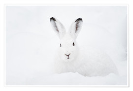Poster  Mountain hare in winter - Peter Wey
