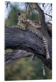 Verre acrylique  Botswana, Moremi Game Reserve, Adult Female Leopard (Panthera pardus) rests on tree limb near Khwai  - Paul Souders