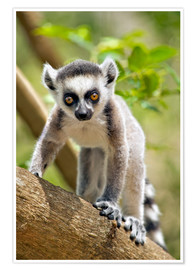 Poster Baby ring-tailed lemur (lemur catta) in the Anja private community reserve near Ambalavao in souther