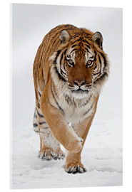 Verre acrylique  Siberian Tiger in the snow - James Hager