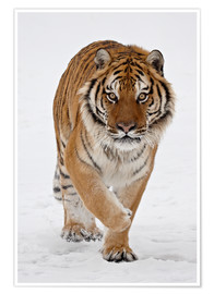 Poster  Siberian Tiger in the snow - James Hager