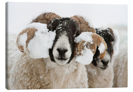 Tableau sur toile  Northumberland blackface sheep in snow, Tarset, Hexham, Northumberland, UK - Ann & Steve Toon