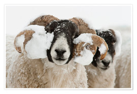 Poster Northumberland blackface sheep in snow, Tarset, Hexham, Northumberland, UK