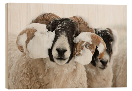 Tableau en bois  Northumberland blackface sheep in snow, Tarset, Hexham, Northumberland, UK - Ann & Steve Toon