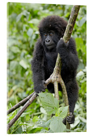 Tableau en verre acrylique  Infant mountain gorilla (Gorilla gorilla beringei) from the Kwitonda group climbing a vine, Volcanoe - James Hager
