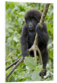 Tableau en PVC  Infant mountain gorilla (Gorilla gorilla beringei) from the Kwitonda group climbing a vine, Volcanoe - James Hager