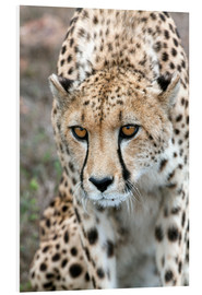 Tableau en PVC  Cheetah approaching prey, Western Cape, South Africa, Africa - Fiona Ayerst