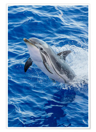 Poster  Adult striped dolphin - Michael Nolan
