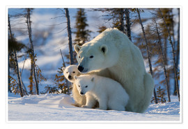 Poster  Polar bear (Ursus maritimus) with cubs, Canada - David Jenkins