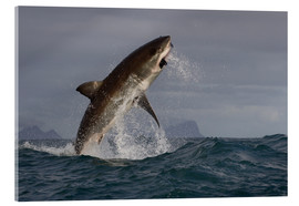 Tableau en verre acrylique  Great white shark (Carcharodon carcharias), Seal Island, False Bay, Simonstown, Western Cape, South - David Jenkins