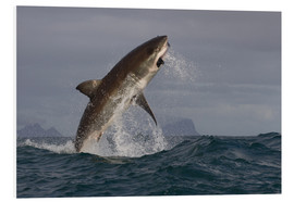 Tableau en PVC  Great white shark (Carcharodon carcharias), Seal Island, False Bay, Simonstown, Western Cape, South - David Jenkins