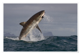 Poster  Great white shark (Carcharodon carcharias), Seal Island, False Bay, Simonstown, Western Cape, South - David Jenkins