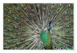 Poster  Java green peafowl (Pavo muticus) - Gabrielle & Michel Therin-Weise