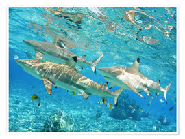 Poster  Requins bordés - M. Swiet