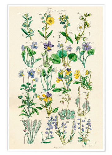 Poster Fleurs sauvages Fig. 141-160
