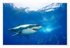 Poster  Grand requin blanc devant Guadalupe - Dave Fleetham