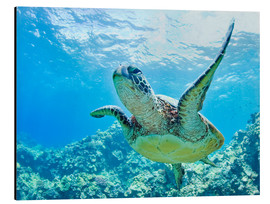 Tableau en aluminium  Tortue verte au large d'Hawaii - M. Swiet