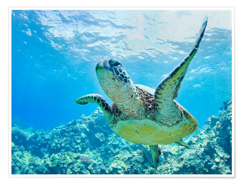 Poster Tortue verte au large d'Hawaii