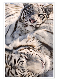 Poster  Tigres blancs du Bengale - Chad Coombs
