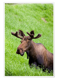 Poster  Bull Moose in the Grass - John Delapp