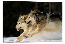 Tableau sur toile  Pack Of Grey Wolves Running Through Deep Snow - John Hyde