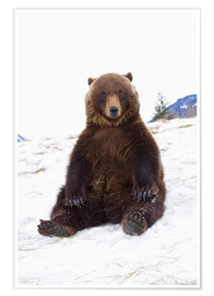 Poster Ours grizzly assis dans la neige
