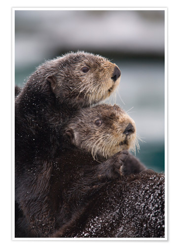 Poster Loutre confuse