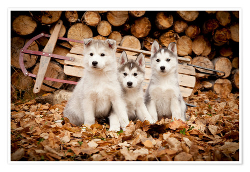 Poster Chiots Husky