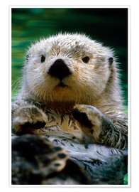Poster  Loutre - Harry M. Walker