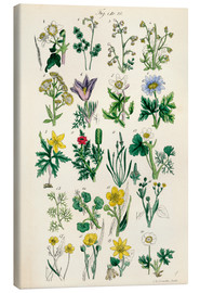 Tableau sur toile  Fleurs sauvages Fig. 01-20 - Sowerby Collection
