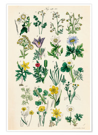 Poster Fleurs sauvages Fig. 01-20